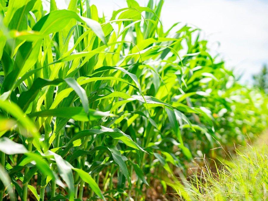 Maize Growing